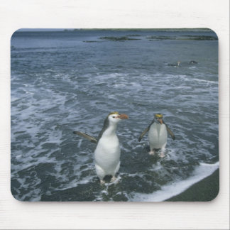 Royal Penguin, (Eudyptes schlegeli), returning Mouse Mat