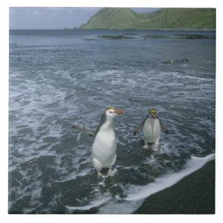 Royal Penguin, (Eudyptes schlegeli), returning Tile
