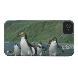 Royal Penguins (Eudyptes schlegelii) endemic, iPhone 4 Case