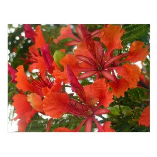 Royal Poinciana Flower Postcard