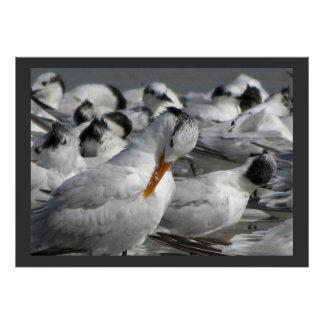 Royal Tern in a Mixed Flock of Terns Poster