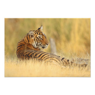 Royale Bengal Tiger sitting outside the Photographic Print