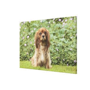 Ruby Cavalier King Charles Spaniel in the grass Canvas Print e3eed35b41