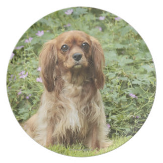 Ruby Cavalier King Charles Spaniel in the grass Party Plate