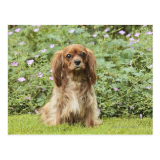 Ruby Cavalier King Charles Spaniel in the grass Post Cards