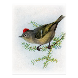 Ruby-crowned Kinglet Postcard