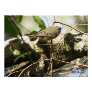 Ruby-crowned Kinglet Posters