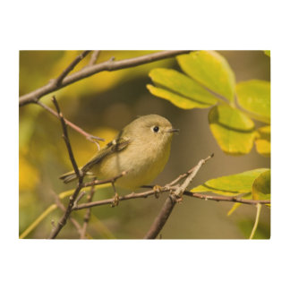 Ruby-crowned Kinglet Wood Canvases
