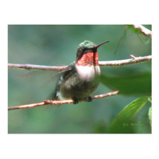Ruby-throat After Chase Postcard