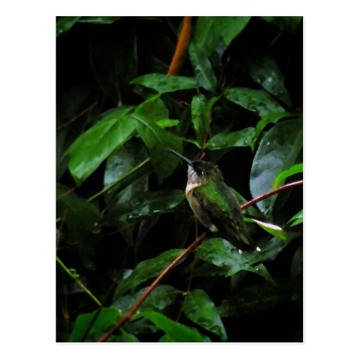 Ruby Throated Humingbird Postcard