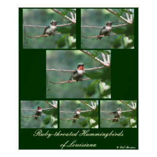 Ruby-throated Hummers of LA Posters