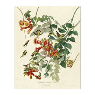 Ruby-throated_Humming_Bird_Audubon Canvas Stretched Canvas Print