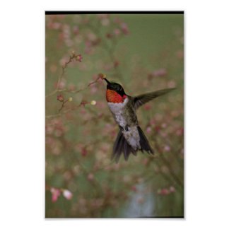 Ruby Throated Humming Bird Posters