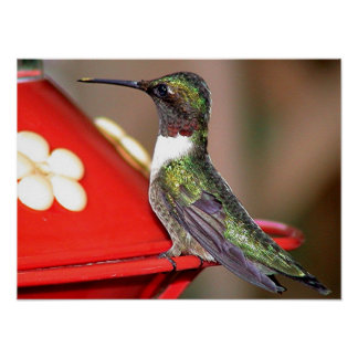 Ruby-Throated Hummingbird 2004-0146a Posters