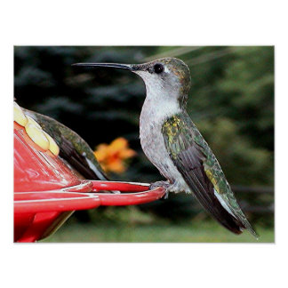 Ruby-Throated Hummingbird 2004-0237a Poster