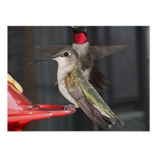 Ruby-Throated Hummingbird 2004-0237a Posters