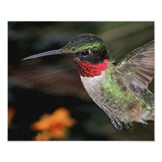 Ruby-Throated Hummingbird 2004-0247a Posters