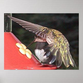 Ruby-Throated Hummingbird 2005-0558a Print