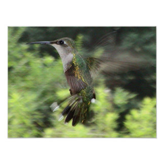 Ruby-Throated Hummingbird 2005-0607 Posters