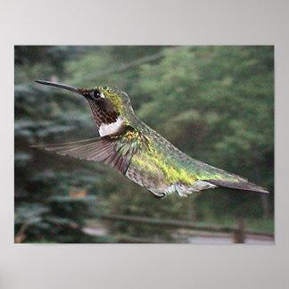 Ruby-Throated Hummingbird 2005-0702a Print
