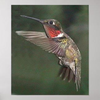 Ruby-Throated Hummingbird 2005-0721a Print