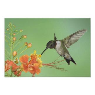 Ruby-throated Hummingbird, Archilochus 2 Art Photo