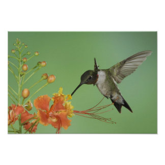 Ruby-throated Hummingbird, Archilochus 2 Poster