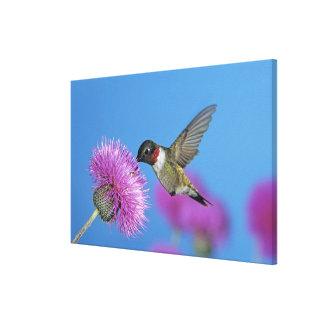 Ruby-throated Hummingbird, Archilochus 4 Canvas Print