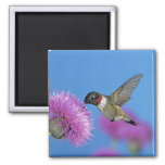 Ruby-throated Hummingbird, Archilochus 4 Square Magnet
