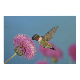 Ruby-throated Hummingbird, Archilochus 4 Wood Canvases