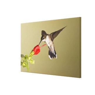 Ruby-throated Hummingbird Archilochus Canvas Print
