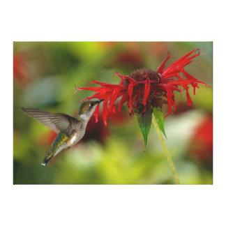 Ruby-Throated Hummingbird Archilochus Colubris Canvas Prints