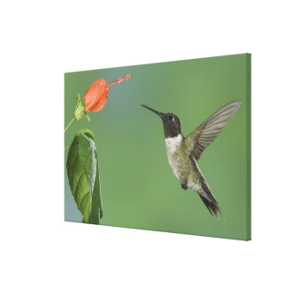 Ruby-throated Hummingbird, Archilochus Gallery Wrapped Canvas