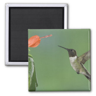 Ruby-throated Hummingbird, Archilochus Magnet