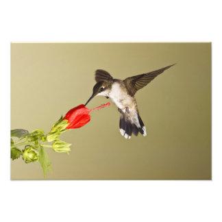 Ruby-throated Hummingbird Archilochus Photo Print