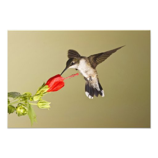 Ruby-throated Hummingbird Archilochus Photo Art