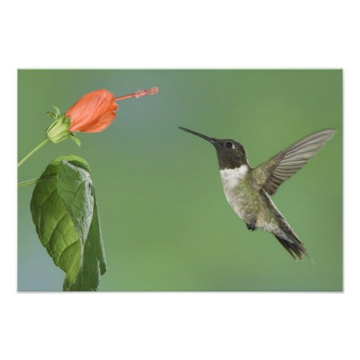 Ruby-throated Hummingbird, Archilochus Photograph