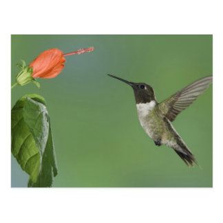 Ruby-throated Hummingbird, Archilochus Postcard