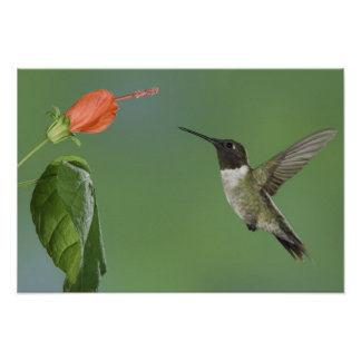 Ruby-throated Hummingbird, Archilochus Poster