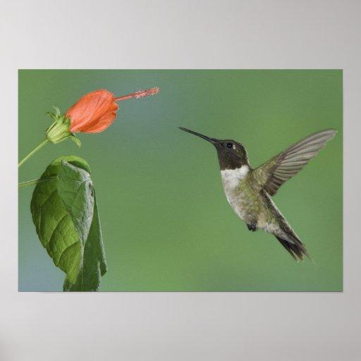 Ruby-throated Hummingbird, Archilochus Poster