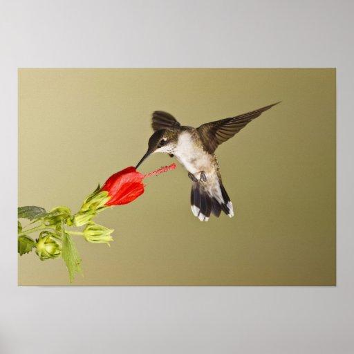 Ruby-throated Hummingbird Archilochus Poster