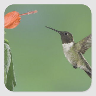 Ruby-throated Hummingbird, Archilochus Square Sticker