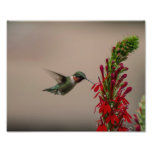RUBY THROATED HUMMINGBIRD ART PHOTO