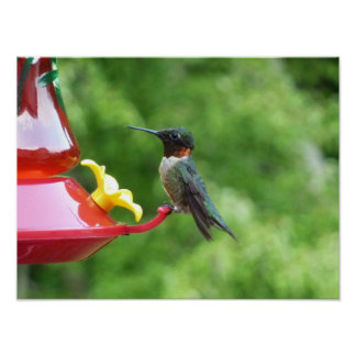 Ruby-Throated Hummingbird Bird Photography Poster