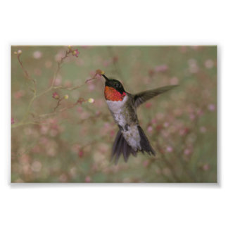 Ruby Throated Hummingbird drinking from a flower Photo Art