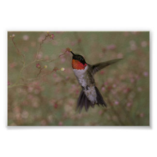 Ruby Throated Hummingbird drinking from a flower Poster
