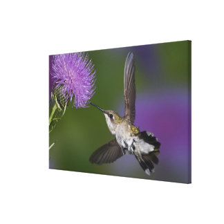 Ruby-throated hummingbird in flight at thistle 2 canvas print