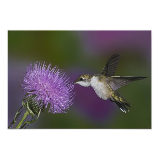 Ruby-throated hummingbird in flight at thistle photograph