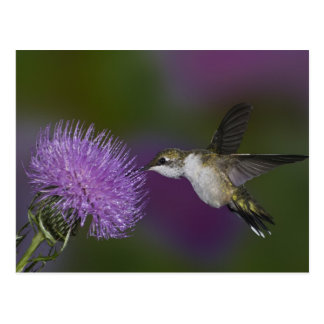 Ruby-throated hummingbird in flight at thistle postcard