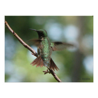 Ruby-throated Hummingbird Takes Off Poster